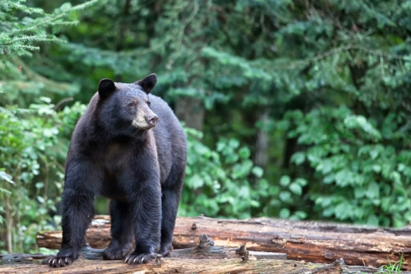 Black Bear Safety Tips