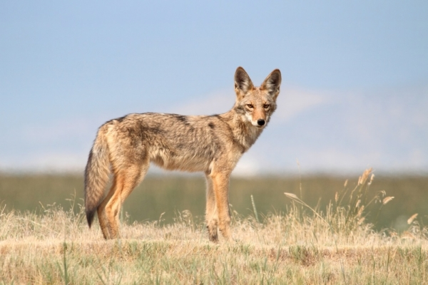 Coyote Encounter Safety Tips