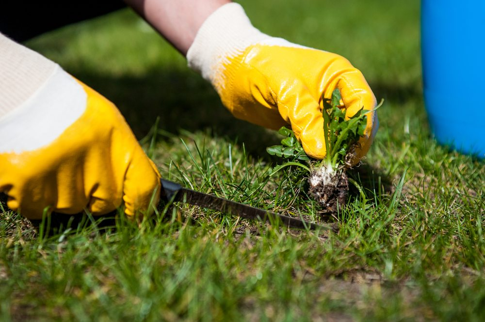 Weeds being removed from lawn
