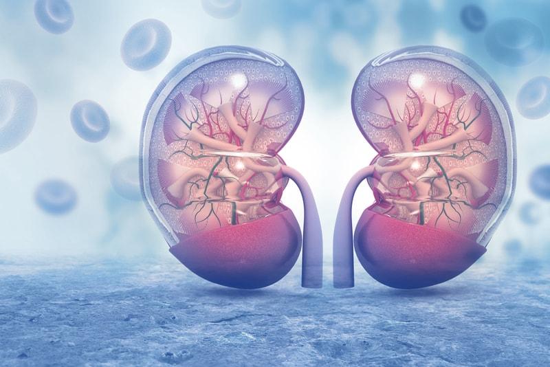 illustration of organs