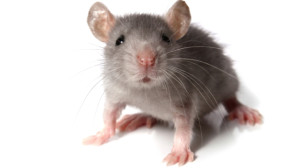 How to Get Rid of Mice in your Garage?