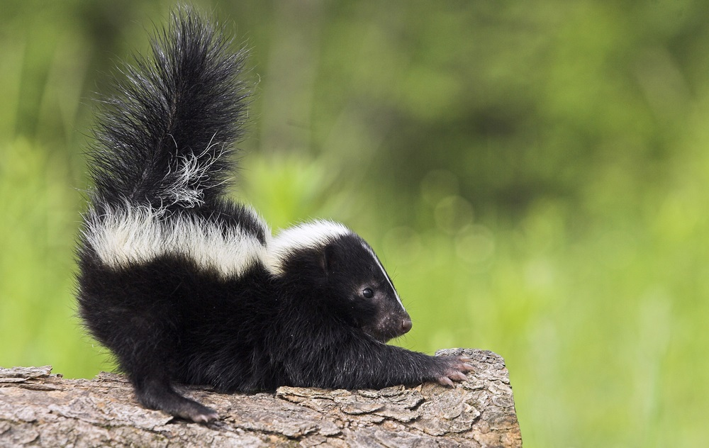 How to Get Rid of Skunk smell in the house