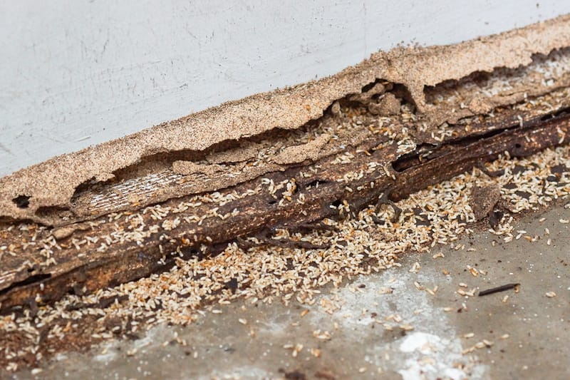 wood being eaten by termites