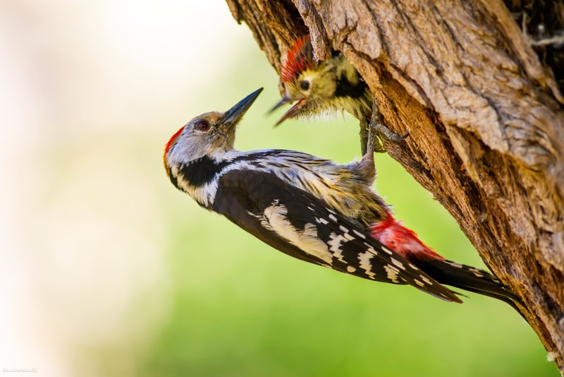 woodpecker sitting on a tree