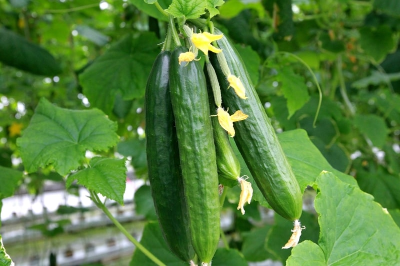 cucumbers hanging on a plant
