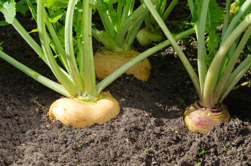 turnips still in the ground